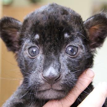 В Екатеринбургском зоопарке пятнистая самка ягуара по кличке Сара родила чёрного ягуарёнка