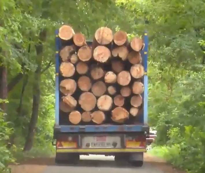 Из леса Пущи-водицы грузовики вывозят здоровые срубленные деревья