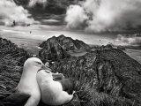 Гнездо двух чернобровых альбатроса, на заднем плане — острова Виллис близ Южной Георгии (2009).