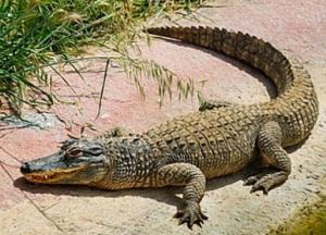 В Малайзии огромный крокодил съел мужчину (видео)
