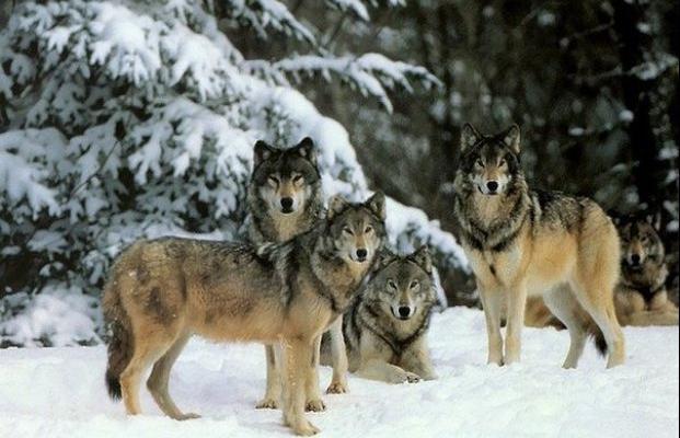 Когда в 1995 году четырнадцать Волков были выпущены нужны для постройки плотин